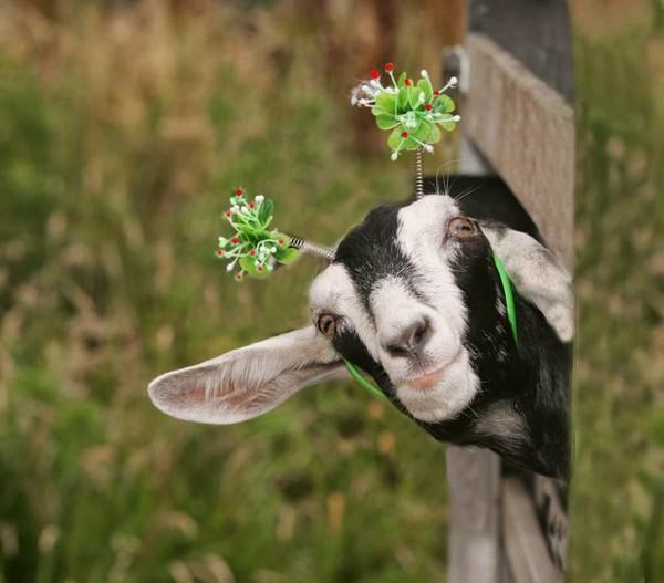 Les chèvres, les biques, les moutons. 007afc5d