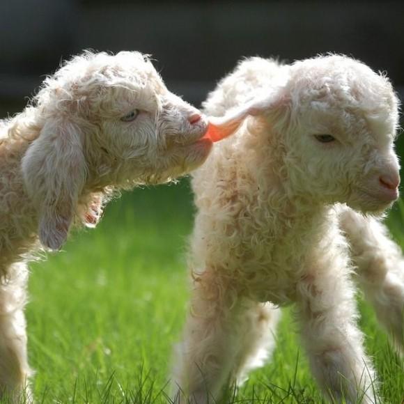 Les chèvres, les biques, les moutons. 172f7469