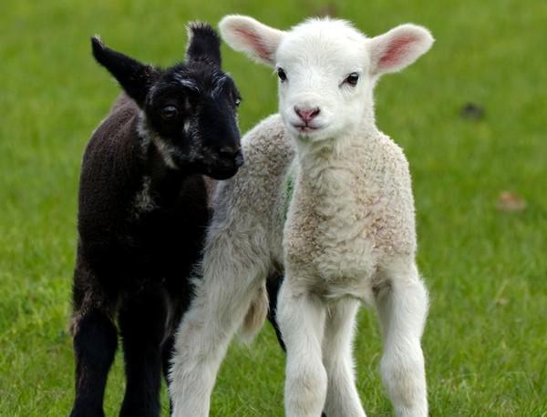 Les chèvres, les biques, les moutons. 2d6072b4