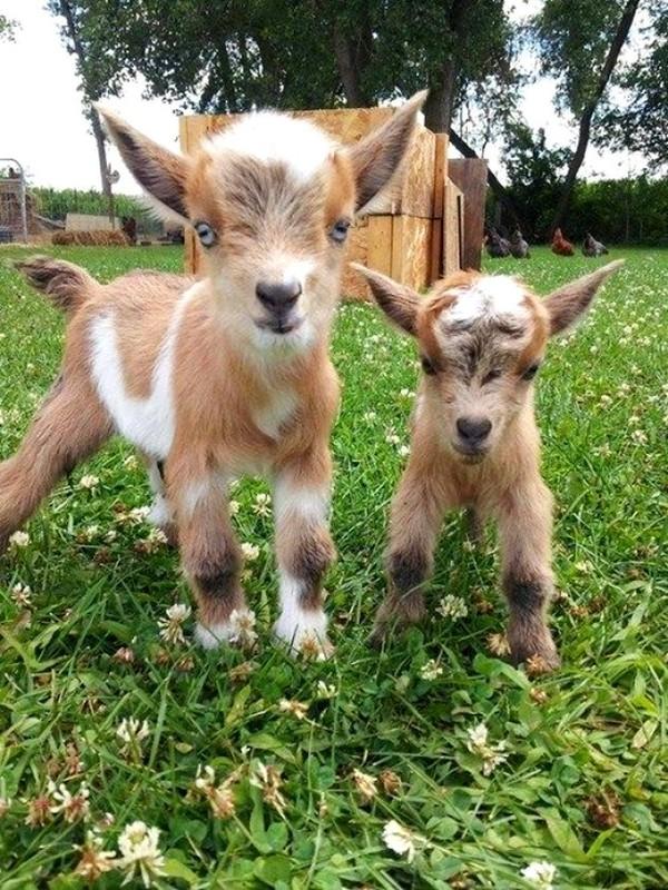 Les chèvres, les biques, les moutons. 44d19d4d