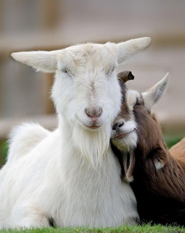 Les chèvres, les biques, les moutons. 4acee6a9