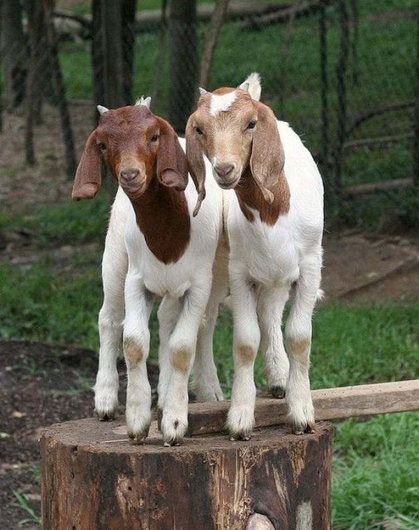 Les chèvres, les biques, les moutons. 67724f54