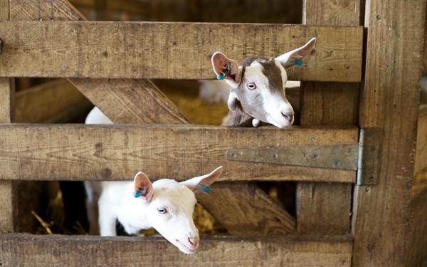 Les chèvres, les biques, les moutons. 8f9238d8
