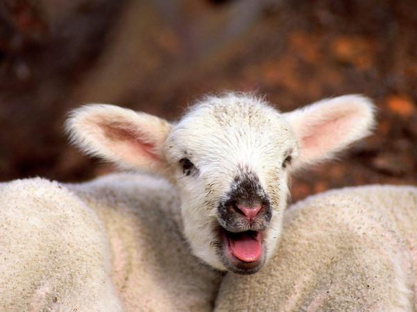 Les chèvres, les biques, les moutons. A8bf8f3f