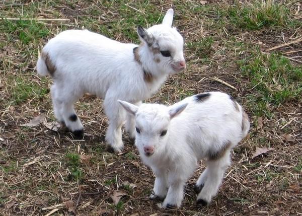 Les chèvres, les biques, les moutons. B3777d57