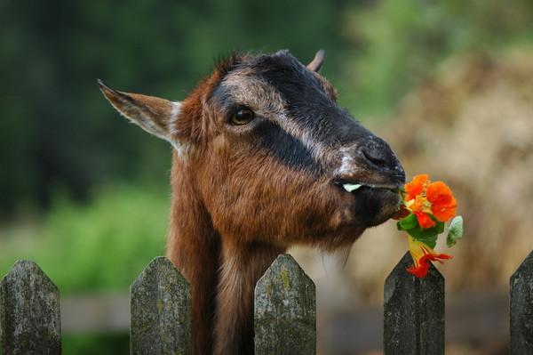 Les chèvres, les biques, les moutons. B53984b9
