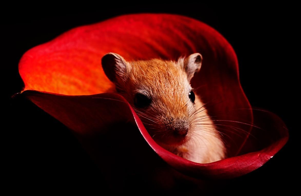 rat souris hamster 2. Black Bedroom Furniture Sets. Home Design Ideas